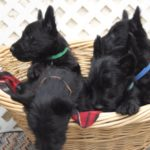 Basket of Scotties