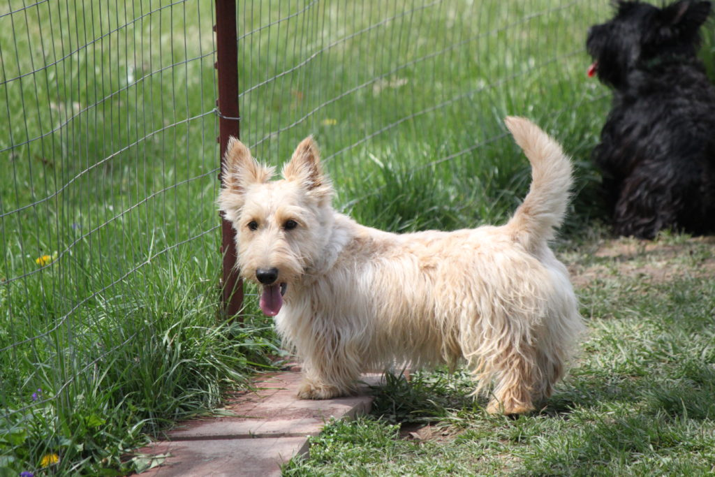 Rufous our Senior Stud. First Wheaten color Scottish Terrier acquired by Die Hard Scotties.